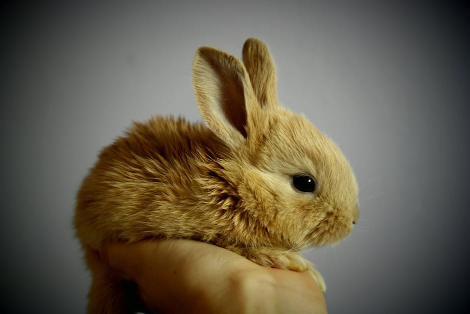 Protect your rabbit from VHD with All Creatures Healthcare