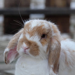 Health tips for senior rabbits in Norfolk