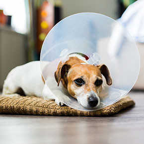 Dog neutering advice from All Creatures Healthcare