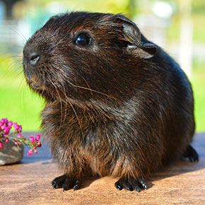 5 tips every Norfolk guinea pig owner should know