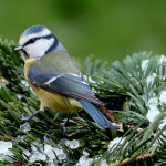 Helping wild birds through the winter