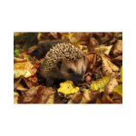 Give hedgehogs a safe autumn
