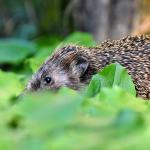 Make your garden a hedgehog haven