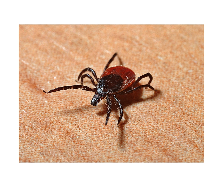 Protect yourself and your dog from ticks