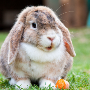 Protect your rabbit against RVHD with All Creatures