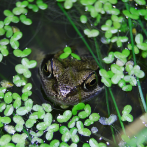 Identifying frogs and other creatures in your Norfolk garden this summer.