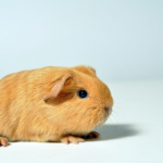 Guinea pig grooming advice from All Creatures' head nurse Sarah Kostuk.