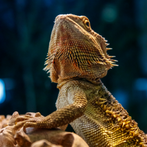 Summer heat basking tips for bearded dragons from All Creatures Healthcare