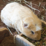Advice on guinea pig breeding from All Creatures Healthcare