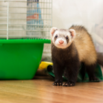 Read Louise's advice on keeping ferrets cool in summer