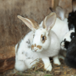 All Creatures Healthcare's share expert advice on flystrike in rabbits